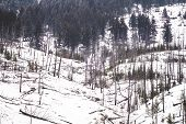 Winter Scene Of Burned Trees, Remnants Of The Sawback Prescribed Burn Of 1993, As Seen In 2019 Along poster