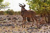 The greater kudu (Tragelaphusstrepsiceros)