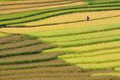 Campos de arroz aterrazados oro en Mu Cang Chai, Vietnam