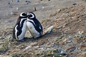 Couple Of Cute Magellan Penguins