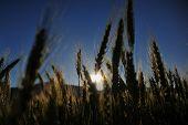 Wheat On The Sunset Light