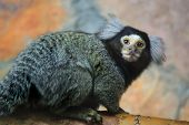 picture of marmosets  - This is photo of marmoset (Callithrix jacchus)