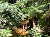 Australian Creek With Tree Ferns