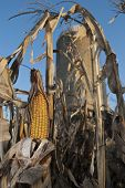 Corn on Stalk Ready for Harvest
