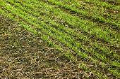 Borde de campos de trigo sembradas cerca
