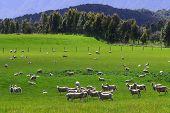 Sheep Flock New Zealand