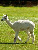 A shorn Alpaca