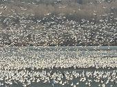 Snow Geese On Lake