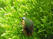 Clinging Green June Beetle