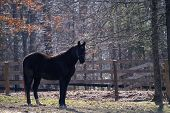 Tennessee Walker Horse