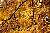 Maple Tree In Yellow Fall Colors