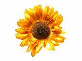 Flower Sunflower