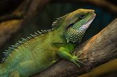 Thai Water Dragon
