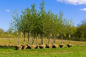 stock photo of row trees  - row of leaf trees in the spring waiting to be planted - JPG