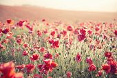 picture of suny  - Beautiful landscape image of Summer poppy field under stuning sunset sky with cross processed retro effect