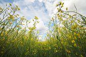 Bright yellow rape field on summer