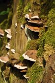 Polypore With A Green Moss
