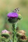 Marbled white butterfly on a thistle flower.