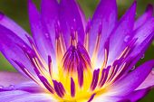 stock photo of lillies  - Close up Blooming purple lotus flower or Purple water lilly - JPG