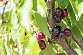 image of bing  - Sweet Bing Cherries on Tree Branch at Fruit Tree Farm Closeup