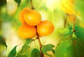 Apricot Growing. Ripe Apricots in Orchard. Organic Fruits.