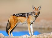 Black-backed jackal - Canis mesomelas - Kalahari desert - South Africa