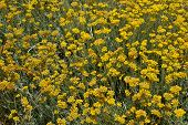 picture of sissy  - Helichrysum stoechas in bloom in Sissi in Crete Greece - JPG
