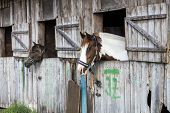 Two horses looking outside of the stable.