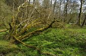 stock photo of bailey  - Fallen Moss covered tree in Carr Woodland Bailey Einon Cefnllys - JPG