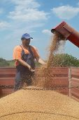 picture of auger  - Wheat harvest farmer and grain auger of combine pouring crop - JPG