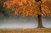 Autumn tree in fog.
