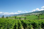 Vineyards in Okanagan Valley in British Columbia