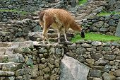 Alpaca grazing at Machu Picchu