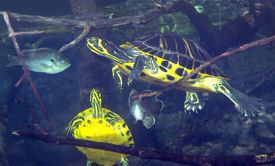 picture of cooter  - Peninsula Cooter Turtles and Blue Gill appear to be in an underwater traffic jam among the sunken tree limbs and aquatic plants in the shallow freshwaters of Merrits Mill Pond. ** Note: Slight graininess, best at smaller sizes - JPG