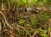 Mangrove forest with skull in Colombia islands caribbean Mucura