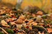 image of shroom  - three small birch mushrooms grow on a moss - JPG