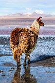 image of lamas  - Lama on the Laguna Colorada in Bolivia - JPG
