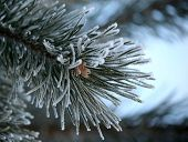 Twig Of Pine Hoar-frost Covered, Soft Focus