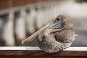 Pelican on the Deck