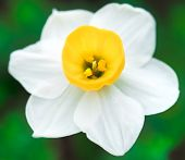 White Daffodil Close up Macro
