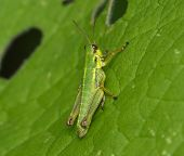 Young Green Grasshopper On A Green Leaf