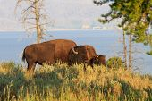 Buffalos / Bisons In High Grass In Yellowstone National Park, Wyoming
