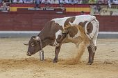 Halter With Cowbell Digging Into The Sand Of The Plaza De Toros De Jaen Or Also Called Coso De La Al