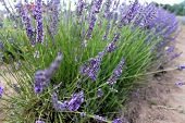 lavandula close-up