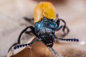 Macro Of A Beetle