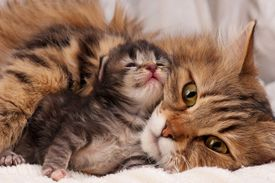 picture of furry animal  - Lovely siberian cat with newborn kitten close-up ** Note: Slight blurriness, best at smaller sizes - JPG