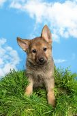 Cute little nine weeks old german shepherd puppy sitting in grass