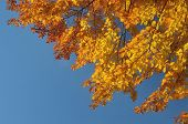 Beech forest on blue sky background. Bright colors of autumn. Branches with autumn leaves