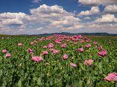 Opium Poppy Field In Full Bloom