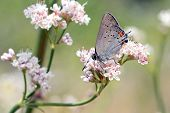 California Hairstreak Feeding